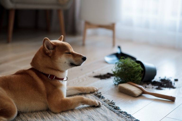Dropped potted plant and soil on the floor and sad guilty Shiba inu dog. Pet damage concept